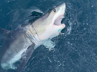 Overhead shot from the boat of a white shark being pulled to the surface in the water below.